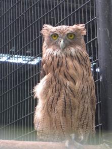 這是一隻飛不了的貓頭鷹。
