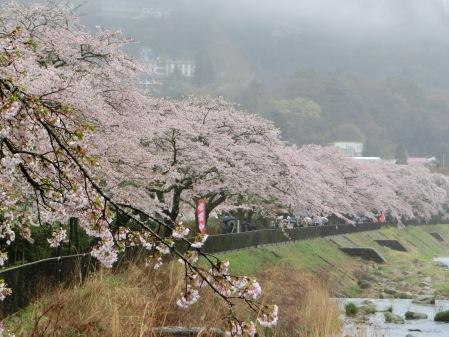 在雨中盛開的河津櫻